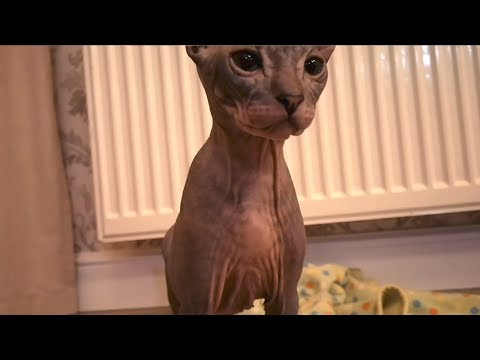 Sphynx kitten plays with a curtain. The CAT is having fun.