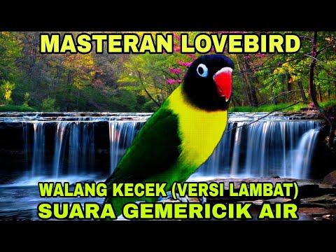 Masteran Lovebird Anti Stres - Walang Kecek Versi Lambat & Gemericik Air