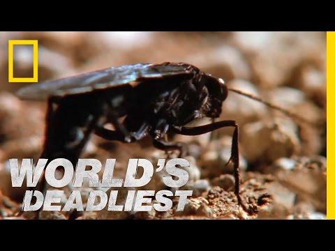 Hairy Spider vs. Wasp | World's Deadliest