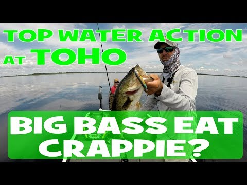 Big Bass Eats Crappie For LUNCH - Top Water Action At Lake Toho