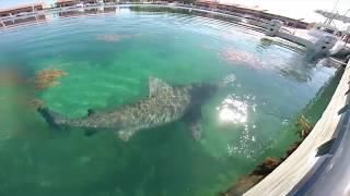 Feeding Bull Shark Bimini Sands