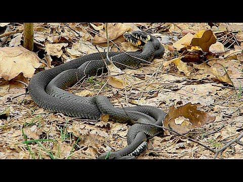 Как спариваются змеи видео смотреть