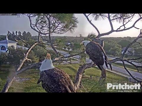 SWFL Eagles ~ Morning Activities ~ Surf & Turf Deliveries, Bonding & Feaking 11.12.17
