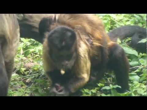 mono maicero carinegro mono silbador caí Brown capuchin monkey Capucin brun macaco preto
