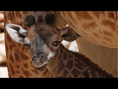 April the Giraffe Finally Welcomes Newborn Calf