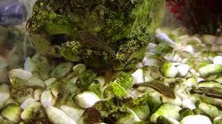 Ohrgitterharnischwels - Otocinclus affinis
