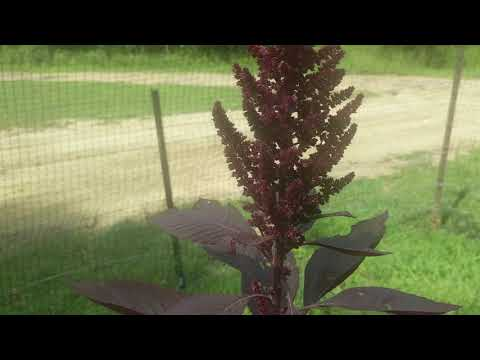 amaranth for medicinal purposes