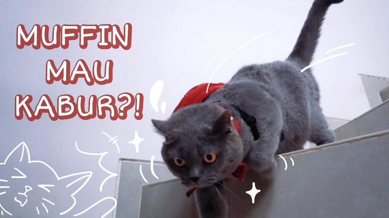 Muffin Kucing British Shorthair Mau Kabur? Ke Mana? - Cia Cat Diary
