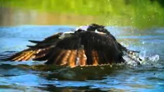 Как хищная птица охотится на рыбу Охота рыбалка