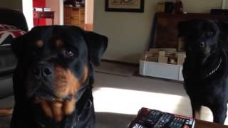 Rottweiler Attention Span
