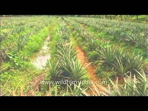 Rows And Of Pineapples Grow In Kerala Fields