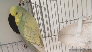 Muhabbet Kuşları Yumurtadan Çıkan Yavrularımız (Japones ve Rainbow)