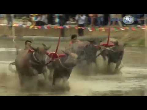 Mud Buffalo Race | Global TV | Thailand 2017