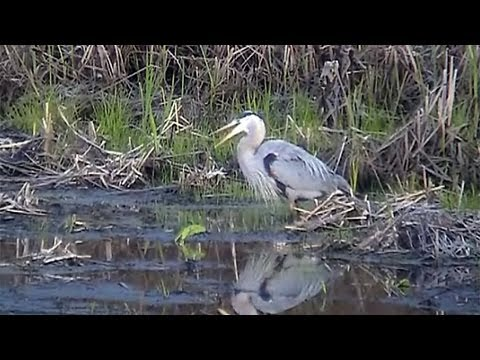 Great Blue Heron Hunting and Eating a Large Frog ~ Not For The Squeamish