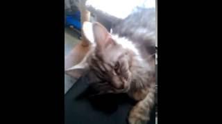 Продаю котят Мейн-кун в Екатеринбурге др.17.04.16г.