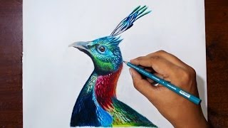 Drawing Himalayan Monal - Prismacolor pencils - speed drawing.