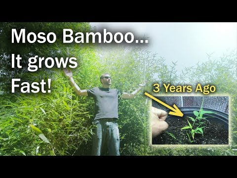 My Moso Bamboo Grew to 12ft in 3 years from 1 Seed (2018