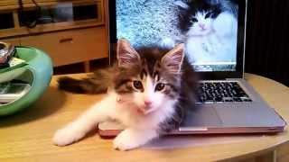 ノルウェージャンフォレストキャット シエルくん Cat