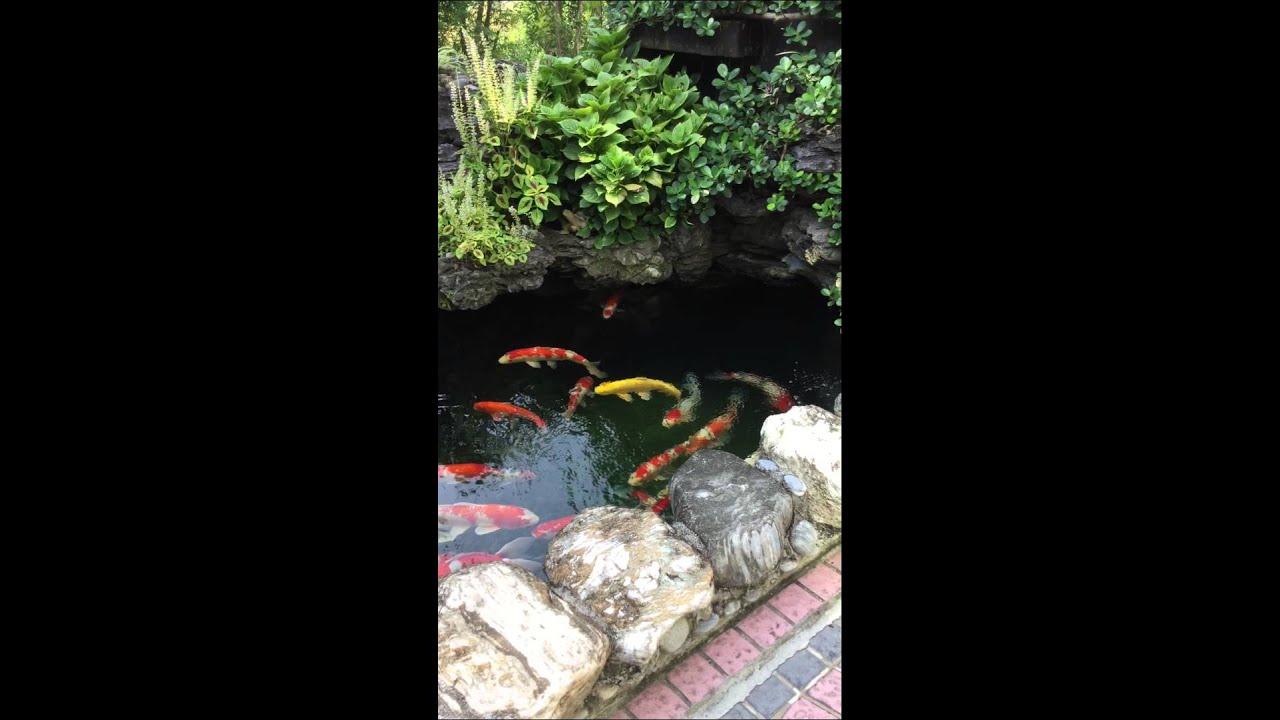 My little koi pond youtube for Koi pool santa