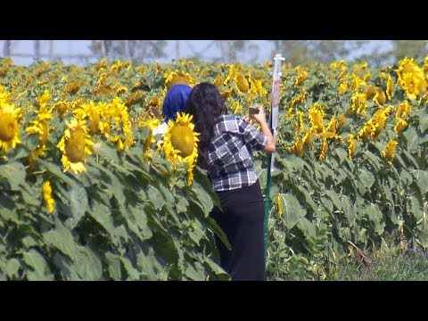 Sunflower farmer says crops being damaged by selfie seekers