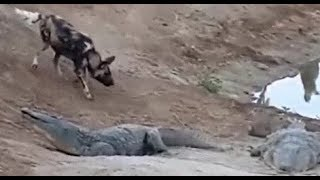 ーーーーーーー 野生動物の生存競争の一端映像! ワニvsハイエナ! 捕食...