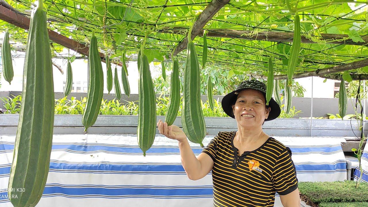 Hướng dẫn trồng Mướp Khía , thùng thông minh đất chỉ 13cm trái trĩu giàn | Khoa Hien 429