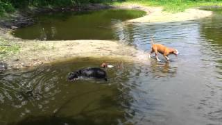 Hank The Dachshund Swimming.