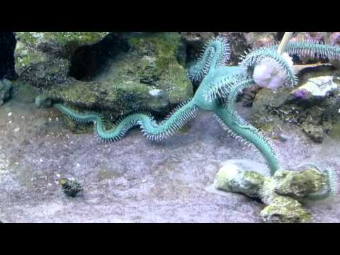 Rambo The Green Brittle Star On The Attack
