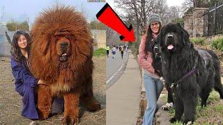 लड़ाई में शेर का भी बाप है ये कुत्ता | Tog Dog Breeds That Are Stronger Than Lion