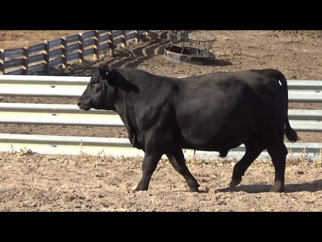 Connealy Angus Lot 211