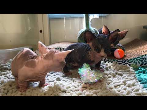 The Sphynx & Bambino Kittens got a NEW TOY!!!