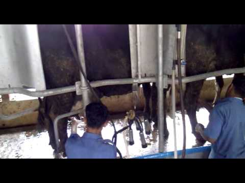 Baramati Agriculture College. Milking of Cow