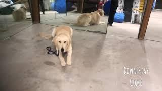 Tebow Golden Retriever Dependable Dog Program Live Well Dog Training Wichita, KS
