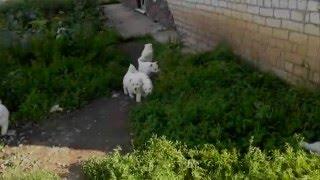 Американо канадская белая овчарка, БШО(Группа в Вконтакте https://vk.com/club.bsho.bonni Моя страница в Вконтакте https://vk.com/idnon18., 2015-08-10T22:51:17.000Z)