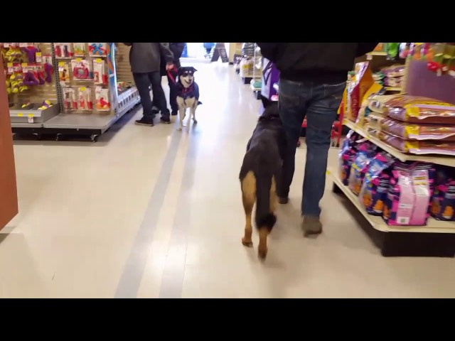 How to Select a Dog for Protection part 3 - Training