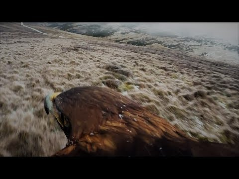 Fieldsports Britain - Hunting Hares on the Back of an Eagle