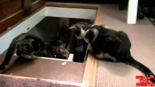 Петух vs кот