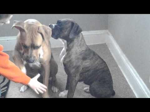 Boxer/pitbull