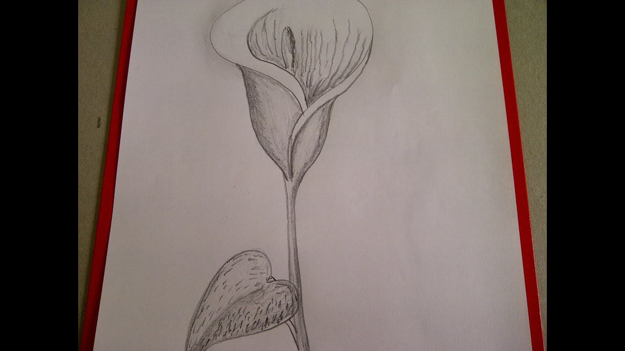 Como dibujar flores. Cómo dibujar una Cala (Alcatraz, Lirio de agua ...