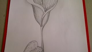 Como dibujar flores. Cómo dibujar una  Cala (Alcatraz, Lirio de agua)