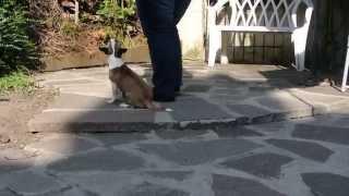 Elmo - Intermediate Trick Dog Title
