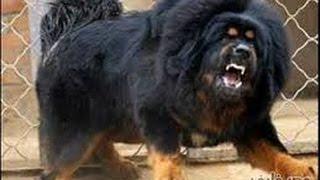 أخطر 10 انواع | كلاب فى العالم.