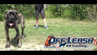 Dog Training: 5 Day Private Seminar! Five Month Old English Mastiff, Nyla!