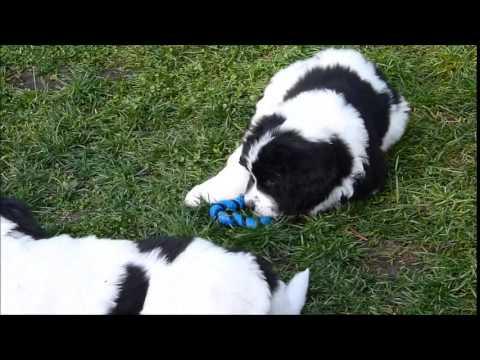 landseer puppies 39 first 12 weeks youtube. Black Bedroom Furniture Sets. Home Design Ideas