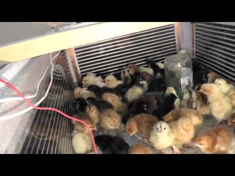 Поилка для суточных цыплят своими руками фото 791