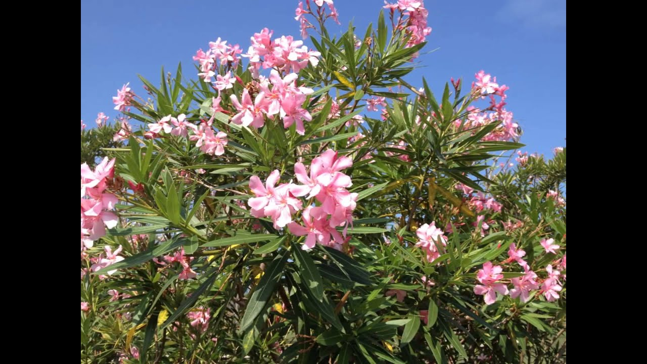 Oleanders poison