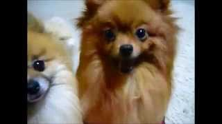 Cute Animals Eating The Pomeranian Which Eats Bait Funny Animal