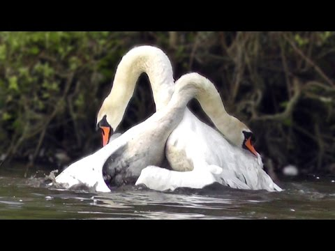 Mute Swan Protecting its Nest - Helped by A Canada Goose