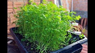 Veja Qual o Melhor e Mais Eficiente Adubo Orgânico Para Cultivar Seus Coentros, Verduras, Legumes e Temperos