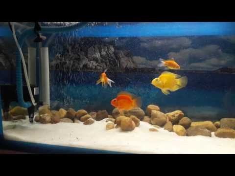 Red parrot fish in sand tank